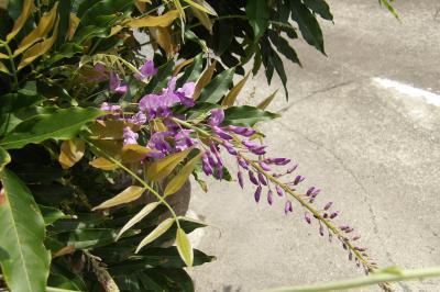 真夏に咲く藤の花と紫陽花