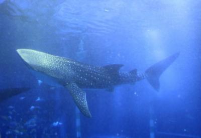和倉温泉湯快リゾート金波荘に宿泊してのとじま水族館でジンベイザメと初逢瀬