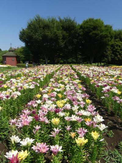 深谷グリーンパークのユリ_2018_若干見頃過ぎですが、まだ綺麗な花が沢山咲いています。(埼玉県・深谷市)