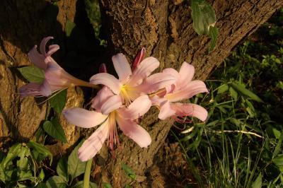 盛夏に開花したピンクの彼岸花