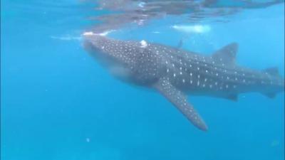 セブ島家族旅行 ジンベイ鮫とインフィニティプールを楽しむ