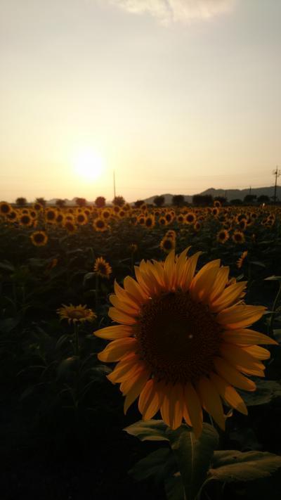 岡山☆笠岡ベイファームのひまわり畑の夕陽