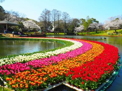 桜とチューリップの祭典 @浜松フラワーパーク
