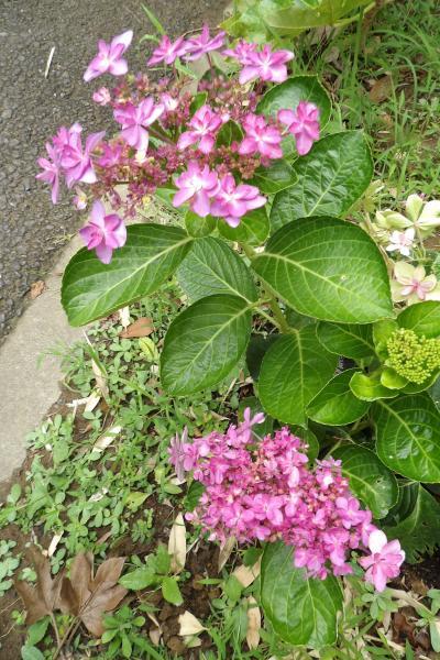 数奇な紫陽花