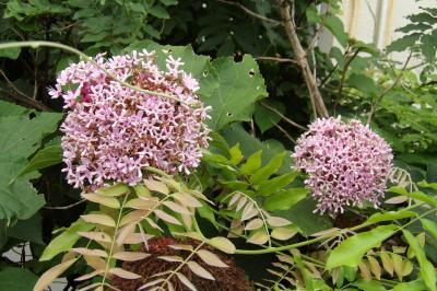 日立の南側のマンションの花壇に咲く紫陽花
