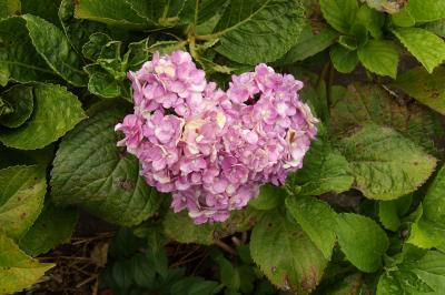幸ヶ丘自治会館辺りの紫陽花