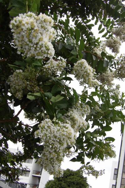 明治学院大遠望橋下周辺と正門入口のサルスベリの街路樹