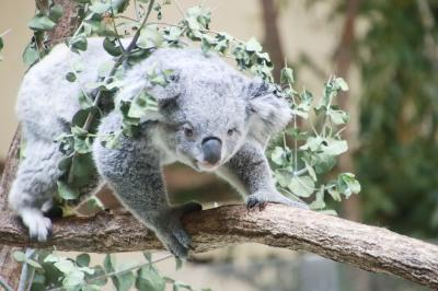 ニーナちゃんに会いたくて夏の多摩動物公園へ~レッサーパンダのリンゴタイムも逃さずに3度の正直で会えたコアラのお寝坊ニーナちゃん&水風呂に浸かる動物たちなど夏ならでは魅力も満載