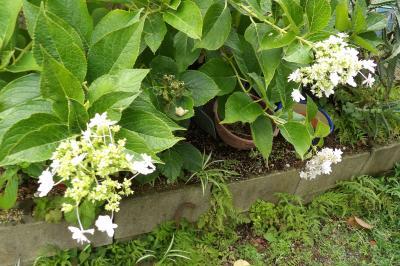 金沢八景でも咲いていた紫陽花