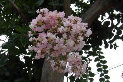 洲崎町の街路樹もサルスベリ