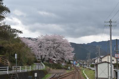 二度と見えない三江線からの桜