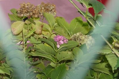 しらぎく幼稚園の紫陽花が1輪だけ咲いていました