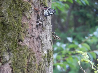森のさんぽ道で見られた蝶(21)コナラの樹液に集まっていた昆虫