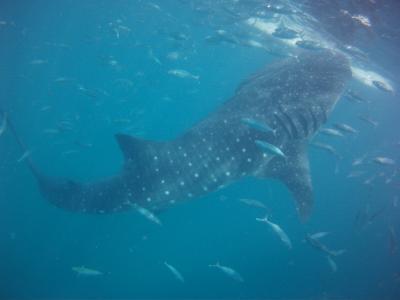 マクタン島泊、セブ島でジンベイと泳ぎ~ボホール島でメガネ猿②