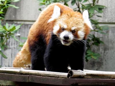真夏のレッサーパンダ紀行【5】 富山市ファミリーパーク&いしかわ動物園 暑さにやられて早期撤収@富山ファミパ ハル君の新天地での活躍が嬉しい@いしかわ