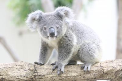埼玉こども動物自然公園の昼と夜(前編)コアラ・カンガルー・ワラビー・ナマケモノの赤ちゃんたちがすくすく育ち盛りの東園や夜が楽しみなハダカデバネズミのランタン