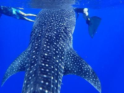 海の神様ありがとう!ドルフィン・スイムのはずが…奇跡!ジンベイザメと泳ぐ♪ ☆ 小笠原【海中編】