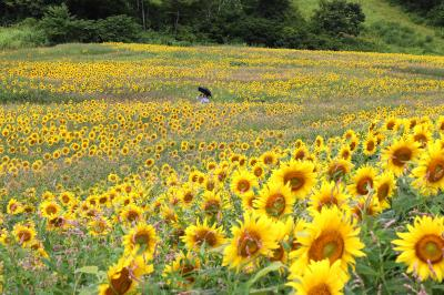 再びの感動、三ノ倉高原に広がる250万本のひまわり・・・