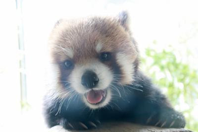 よこはまズーラシアの昼と夜(2)アジアの熱帯林からオセアニアの草原の動物たち~伝説のレッサーパンダのデールちゃん、はじめまして!&初めて見た活発なセスジキノボリカンガルー