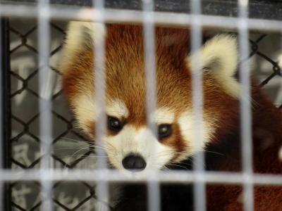 初秋のレッサーパンダ紀行【1】 釧路市動物園 更に可愛く、更に美しく、そして、更にやんちゃに(苦笑) コキンちゃんの成長がとても嬉しいのです