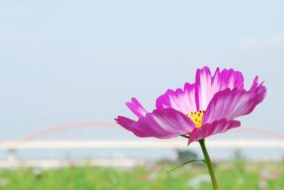 ひとりお花見部 吹上コスモス畑と権現堂堤と荒川河川敷で コスモス・曼珠沙華のお花見