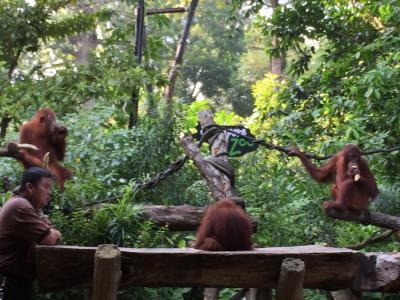 2018お盆家族旅行(2日目) inシンガポール シンガポール動物園「オラウータンと朝食」編