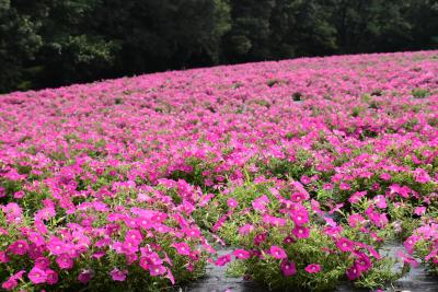 夏~秋の花が咲く武蔵丘陵森林公園 ~ペチュニアとケイトウ~2018(埼玉)