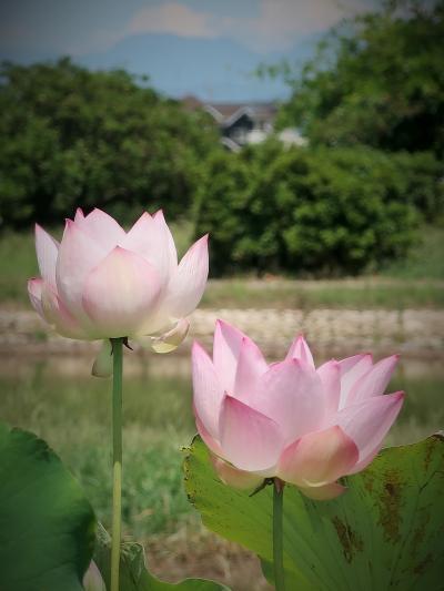 館林2/3 世界の花ハス展 つつじが岡公園で ☆清楚な上品さ花ハスいろいろ