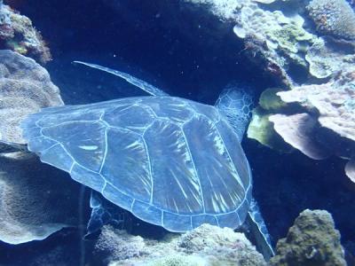 久米島と沖縄本島(17)ルネッサンスリゾートオキナワ前のラピュタでダイビング。ウミガメ発見。花織そばの絶品海人そば