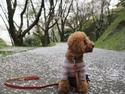 蓮華寺池公園に桜を見に行きました♪