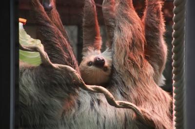 初秋・半分雨の埼玉こども動物自然公園(後編)フラミンゴのひなって可愛い!~久しぶりのシカとカモシカの谷のニホンカモシカや女子コアラ室が工事中のコアラ館でなんとか会えたシャインくん他