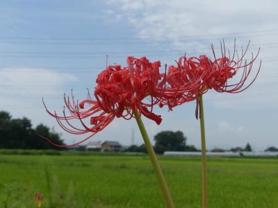 旧レンガ工場跡地の西に、赤い彼岸花が(少し)咲いていた_2018_(埼玉県・深谷市)