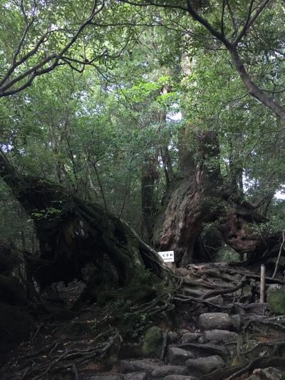 夫婦で屋久島旅行~2日目 白谷雲水峡+縄文杉日帰りコース①~