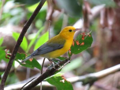 【野鳥と観光の旅】フロリダ・エバーグレーズ国立公園 2018年7月