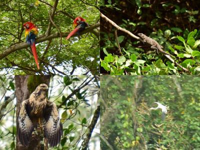 コスタリカを巡る!幻の鳥、蝶、バジリスク、ウミガメの産卵と子亀の誕生、熱帯雨林トレッキング、ボートクルーズ、温泉、様々な生物と自然探訪に、おまけにストバリケード突破までついて、コスタリカの豊かさを満喫 vol②タルコレス川ボートクルーズで何がみれるかな?