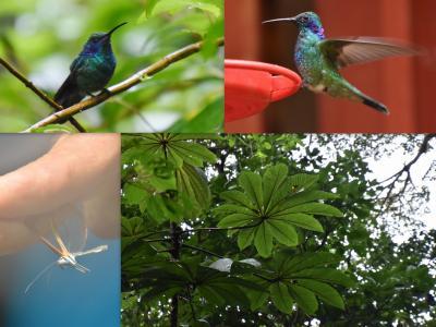 コスタリカを巡る!幻の鳥、蝶、バジリスク、ウミガメの産卵と子亀の誕生、熱帯雨林トレッキング、ボートクルーズ、温泉、様々な生物と自然探訪に、おまけにストバリケード突破までついて、コスタリカの豊かさを満喫 vol③熱帯雲霧林は自然の宝庫