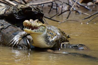コスタリカを巡る!幻の鳥、蝶、バジリスク、ウミガメの産卵と子亀の誕生、熱帯雨林トレッキング、ボートクルーズ、温泉、様々な生物と自然探訪に、おまけにストバリケード突破までついて、コスタリカの豊かさを満喫 vol⑥ウミガメ産卵の村トルトゥゲーロへはボートじゃないと行けない。