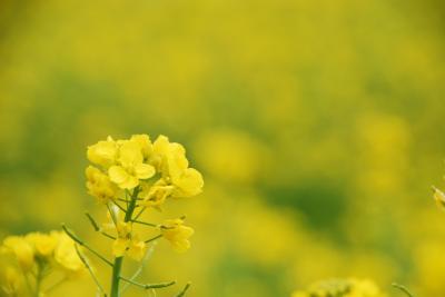 ひとりお花見部 ヒトリナラ 秋篠寺の木蓮~高取雛めぐり~伝香寺散り椿