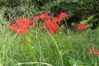 赤と白の彼岸花が開花していました