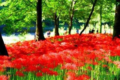 真紅の絨毯!500万本の曼珠沙華の世界