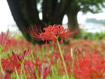 恩林寺のヒガンバナ_2018_2~3割くらい咲き始めました。(群馬県・邑楽町)