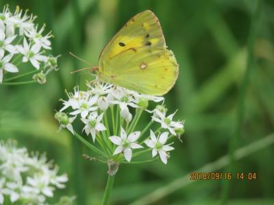 森のさんぽ道で見られた蝶(29)・・その①にらの花を訪問する蝶たち
