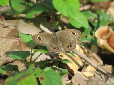 森のさんぽ道で見られた蝶(29)・・その②にらの花以外