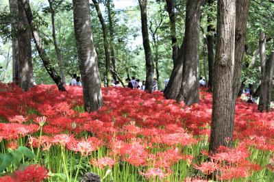 巾着田の曼殊沙華まつり、開催中に行ってきました。赤い花の群生はみごと