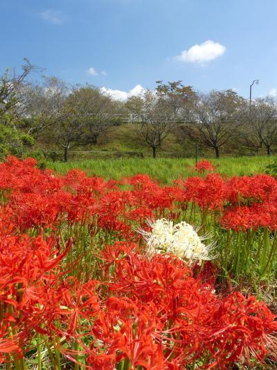 つつじが岡第二公園のヒガンバナ_2018_3~4割くらい開花しています。(群馬県・館林市)