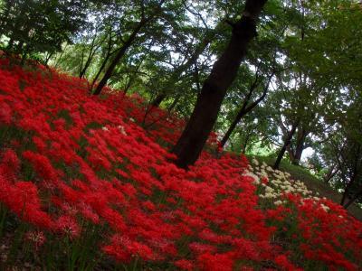 緋の山 ______  御嶽山自然の森 彼岸花