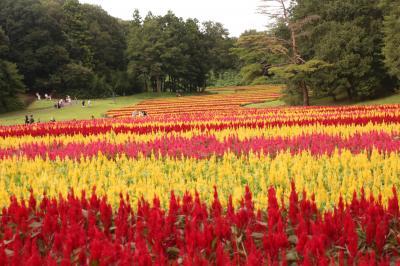 初秋の連休ドライブ日和の森林公園~秋の野草コースのキキョウと運動広場の羽ゲイトウ花畑とヒガンバナと西口広場のペチュニア花畑をめざして