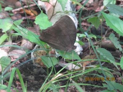森のさんぽ道で見られた蝶(30)秋らしくなった森の中で見られた珍蝶
