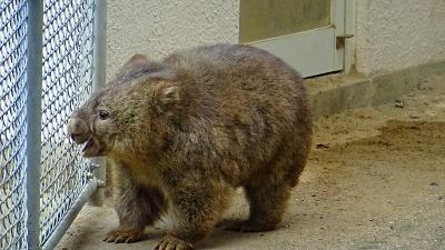 池田市 五月山動物園へ行き、ウオンバットに逢いました。