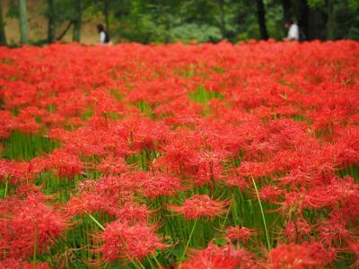 真っ赤に咲き誇る曼珠沙華と日和田山~物見山日帰り登山